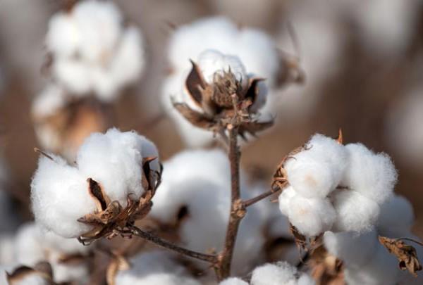 beneficios-e-propriedades-do-oleo-de-algodao-flor