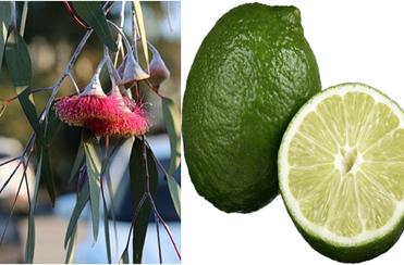 Shampoo caseiro para piolho passo a passo - Eucalipto e limão