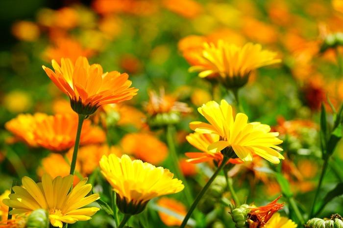 calendula-para-o-cabelo-e-seus-beneficios-para-beleza-e-a-saude-flores